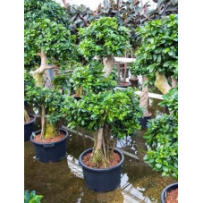 Ficus microcarpa compacta 170 cm