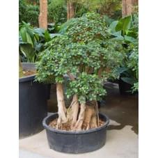 Ficus panda - 160 cm