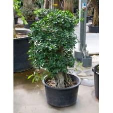 Ficus panda - 240 cm