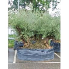 olivier bonsaï - 235 cm ( olea europaea )