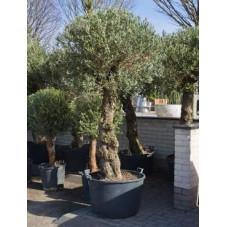 olivier - 200 cm ( olea europaea )