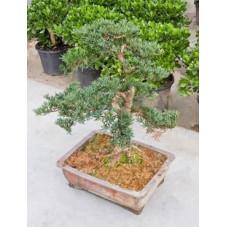 Podocarpus macrophyllus - bonsaï - 80 cm