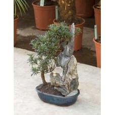 Podocarpus macrophyllus - bonsaï