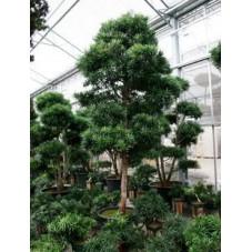 Podocarpus microphyllus 300 cm