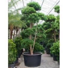 Podocarpus microphyllus 400 cm