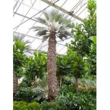 Palmier - Trithrinax campestris - 525 cm