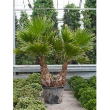 Palmier - washingtonia robusta - 270 cm
