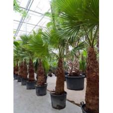 Palmier - washingtonia robusta - 280 cm
