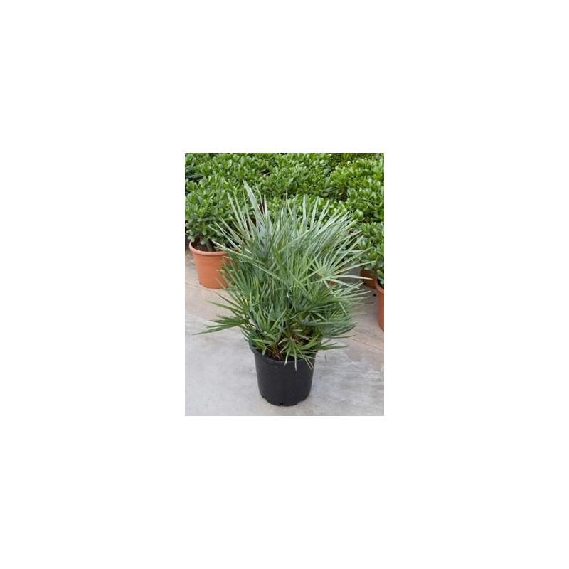 Palmiers nains exterieur for Plante palmier exterieur
