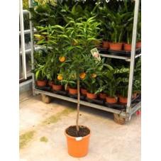 Clémentinier - citrus clementine