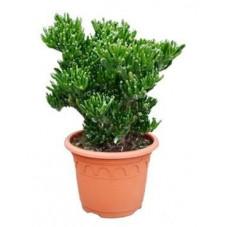 Crassula horn tree