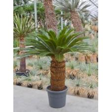 Cycas revoluta  -  160 cm
