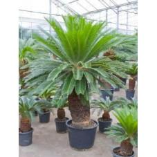 Cycas revoluta  -  200 cm