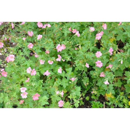 geranium (vivace)