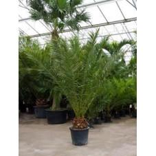 Palmier - Phoenix canariensis  - 250 cm