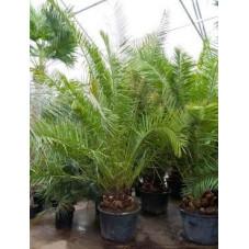 Palmier - Phoenix canariensis  - 400 cm