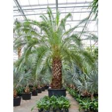 Palmier  -  phoenix canariensis  -  600 cm