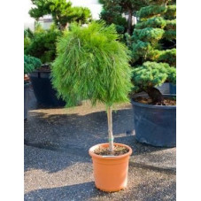 pinus densiflora pendula - tige