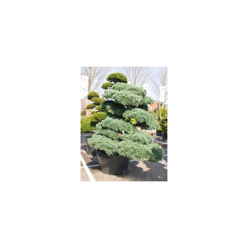 Pinus parviflora glauca - 275 cm