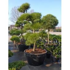 Pinus pinea - bonsaï -  300 cm