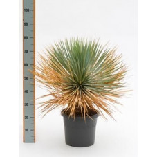 Yucca rostrata  -  80 cm