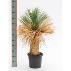 Yucca rostrata  -  100 cm