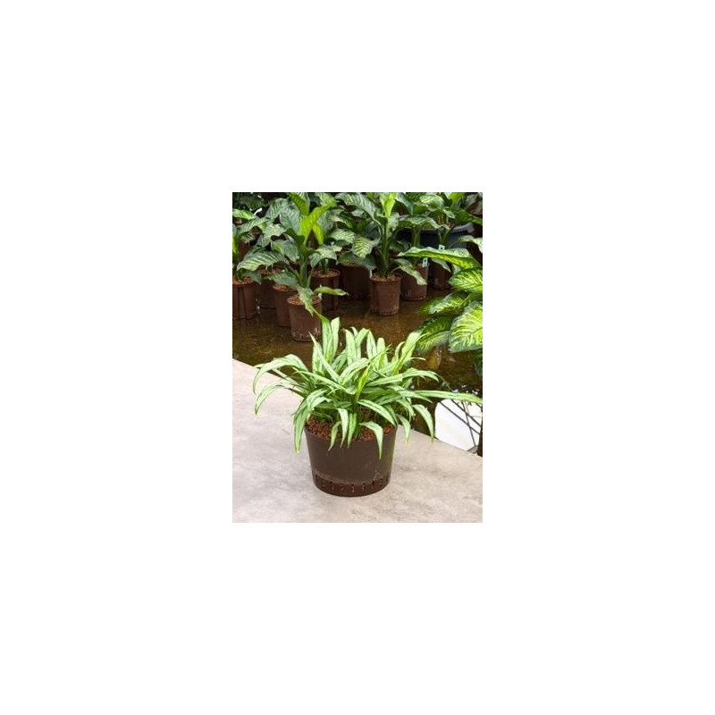 Vente de plantes vertes aglaonema cutlass for Vente plante verte