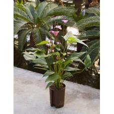 Anthurium florino