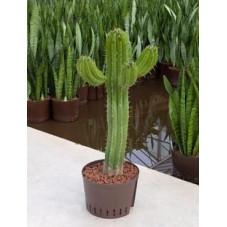 polaskia chichipe - 120 cm