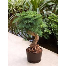 Araucaria cunninghamii 80 cm