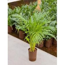 Areca lutescens  - 70 cm
