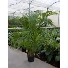 Areca lutescens  - 200 cm