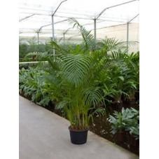 Areca lutescens  -  350 cm