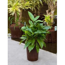 Aucuba japonica variegatum