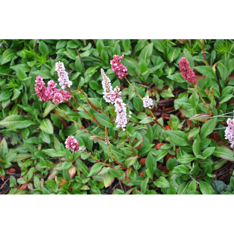renouée - polygonum affine