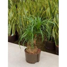 Beaucarnea recurvata - 60 cm