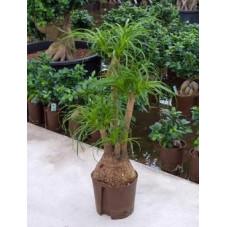 Beaucarnea recurvata - 80 cm