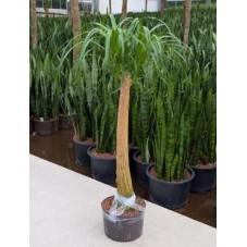Beaucarnea recurvata - 130 cm