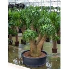 Beaucarnea recurvata - 190 cm