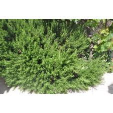 Rosmarinus officinalis (romarin)