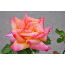 rosier rose et jaune -...