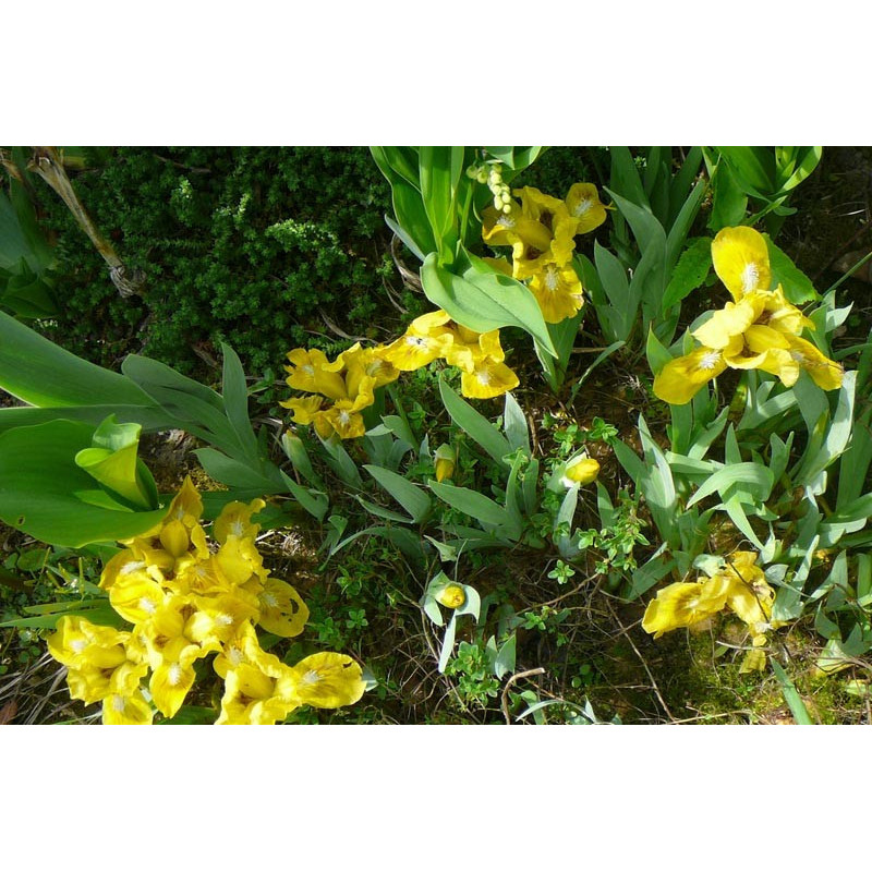 Iris nain des jardins