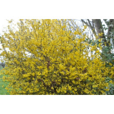 forsythia intermedia -...