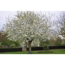 """Cerisier """" bigarreau..."""