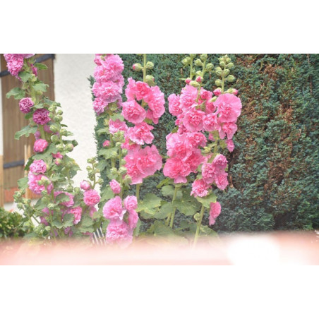 Alcea  ( rose trémière )