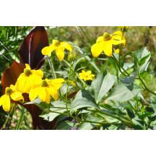 Helenium hybrides