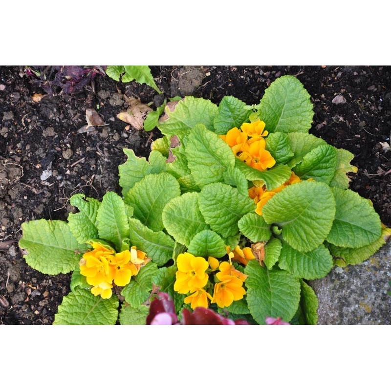 Primula   (primevère des jardins)