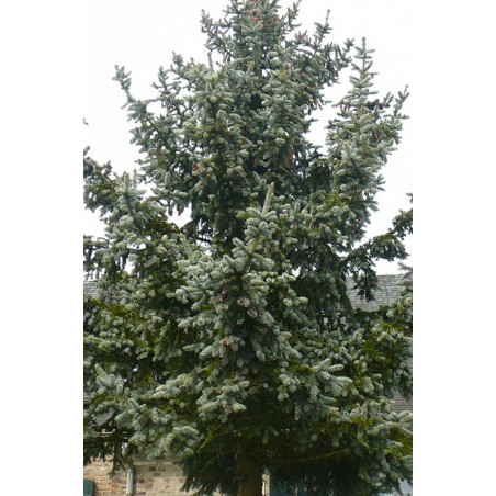 """Picea pungens """" kosteriana """""""