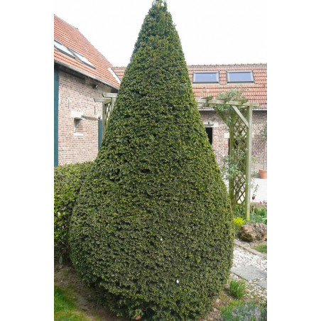 Taxus baccata ( if commun )