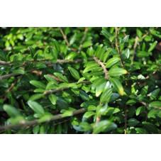 vente de chévrefeuille arbustif (lonicera pileata)